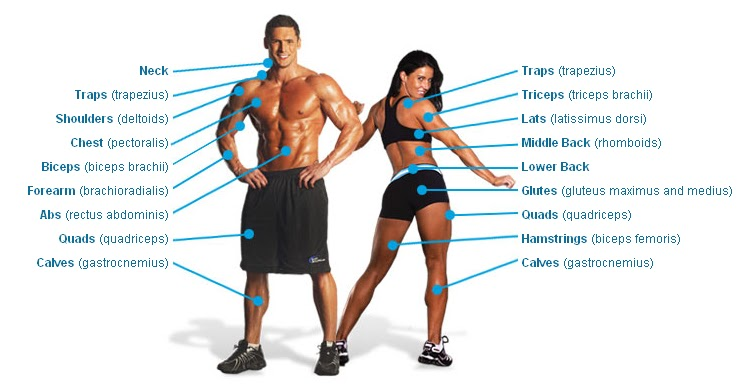 Muscle Groups Explained Here