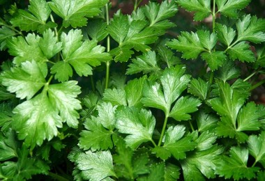 Health Benefits of Parsley a Nutritional Powerhouse for Body