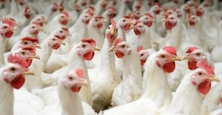 Stop High Speed Kill Chicken Birds Being Boiled Alive1