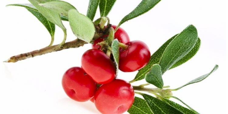 Bearberry-Herbs