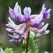 Astralagu-Herb